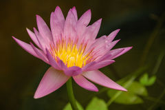 Director G.T. Moore. Pink lotus in the water Stock Image