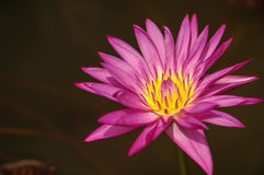 Director G.T. Moore. Pink lotus in the water Royalty Free Stock Photo