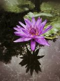 `Director Moore` water lily antiqued. A blue `Director Moore` water lily rises from beneath the surface of the water to the sun stock photos