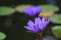 `Director Moore` water lily blooms and lilypads. Two `Director Moore` water lilies rise from the water, surrounded by lily pads stock photos
