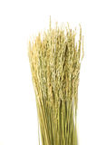 Dired paddy grain rice on white background Royalty Free Stock Photos