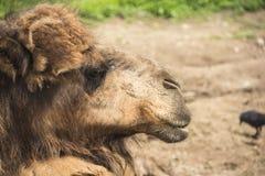Direito vermelho do camelo Fotos de Stock