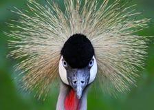 Direkt blick av en svart som krönas kran Royaltyfri Fotografi