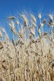 dirige le blé Photographie stock libre de droits
