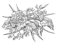 Dirigez la fleur de pivoine d'isolement sur le fond blanc Élément pour la conception Image libre de droits