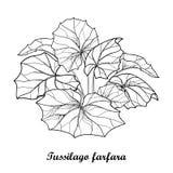 Dirigez le buisson avec le farfara ou le coltsfoot de Tussilago d'ensemble ou le foalfoot avec les feuilles fleuries dans le noir illustration de vecteur