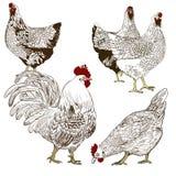 Dirigez le dessin d'un coq et des poules Images libres de droits