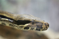 Dirija las serpientes de Python imagen de archivo libre de regalías