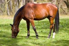 Dirija o cavalo Fotografia de Stock Royalty Free