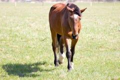 Dirija o cavalo Imagem de Stock Royalty Free