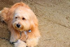 Dirija un perro y ojos marrones fotografía de archivo libre de regalías