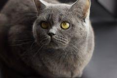 Diritto britannico del grande gatto grigio diabolico del ritratto fotografie stock
