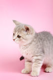 Diritto scozzese del gattino Fotografie Stock Libere da Diritti