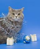 Diritto scozzese del gatto Fotografia Stock