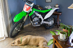 Dirt bike and dog. Dog sleeping beside dirt bike in living room royalty free stock photography