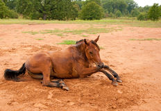 A dirt covered Arabian horse getting up Stock Photos