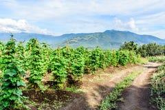 Dirt farm trail & bean crop, Guatemala, Central America. Dirt farm trail between bean crop in Guatemala, Central America royalty free stock photos