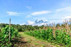 Dirt farm trail & volcanoes, Guatemala, Central America. Dirt farm trail between crops against volcano backdrop in Guatemala, Central America stock photo