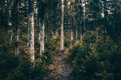 A dirt path in the coniferous forest. Hiking, traveling Stock Photography
