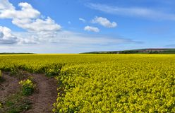 Dirt Pathway Winding Through A Field Of Yellow Rape Seed Stock Photo