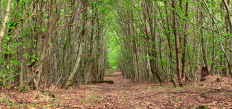Dirt road. A dirt road in the mixed forest by Beckingen, Saarland - Germany, panorama - stitched Stock Photo