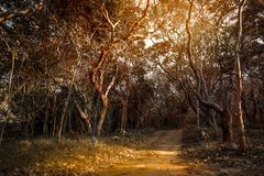 Dirt road in arid forest. Dirt road at tunnel arid tree in the forest Royalty Free Stock Photo