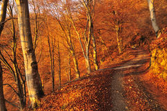 Dirt road in an autumn beech wood at dawn Royalty Free Stock Photos