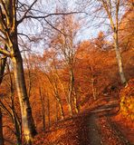 Dirt road through an autumn beech wood at dawn Stock Photos