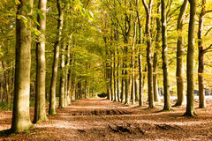 Dirt road in autumn, Netherlands. Muddy dirt road covered with fallen leaves and tree trunks on a sunny day in autumn, Utrechtse Heuvelrug, Netherlands Royalty Free Stock Photo