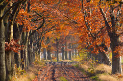 Beech lane Royalty Free Stock Photography