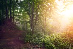 Dirt road through the autumnal colorful forest at sunrise. Autumnal colorful forest at sunrise with sun rays Royalty Free Stock Photo