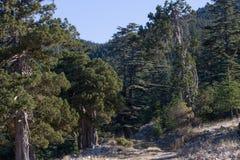 Dirt road in cedar forest. Mountain way, Turkey Stock Image