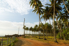 Dirt Road with Coconut Trees Stock Images
