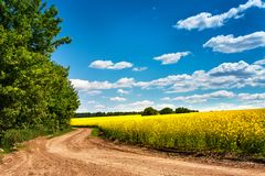 Dirt road in colza flowering field, spring sunny rural scene Stock Image