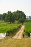 Dirt road through a corn field. Royalty Free Stock Photo