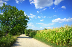 Dirt road in corn field Stock Photography