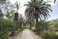 Dirt road between date palm trees, Tunis, Tunisia Stock Photography