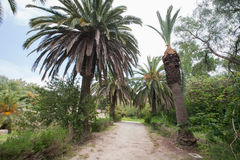 Dirt road between date palm trees, Tunis, Tunisia Royalty Free Stock Photo