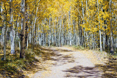 Dirt Road Through Fall Aspen Forest In Colorado Stock Photo