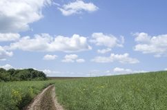 Dirt road in a field sown with rapeseed. In sunny day Stock Images
