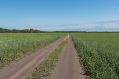 Dirt road between the fields. The dirt road goes beyond the horizon between the fields of wheat Stock Photos