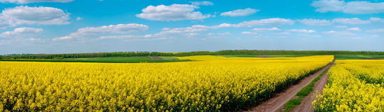 Dirt Road through Fields of Oilseed Rape in Bloom. Spring Landscape under Blue Sky Royalty Free Stock Images