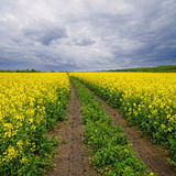 Dirt Road through Fields of Rape. Dirt Road through Fields of blooming Rape Royalty Free Stock Image