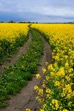 Dirt Road in Fields of Rape. Dirt Road in Fields of blooming Rape Royalty Free Stock Photo