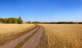 Dirt road goes through a wheat field Stock Images