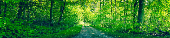 Dirt road in a green forest panorama Royalty Free Stock Photo