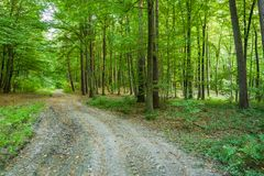 Dirt road through a green leaved forest. Czulczyce, Poland stock images
