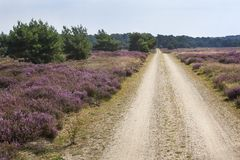 Dirt road in a heather landscape. Dirt road on the Veluwe heather landscape in the Netherlands Royalty Free Stock Image