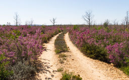 Dirt Road Between Heather royalty free stock photography