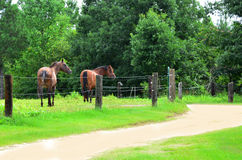 Dirt Road, Horses, and Barb Wire Fencing. Two horses standing inside of barbed wire fencing that runs along a dirt road.  One horse shows a unique expression Stock Photo